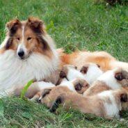 Уход за беременной собакой. Роды