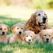 Надо ли вязать собаку «для здоровья»?