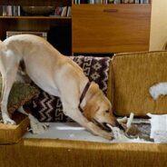 Разрушительное поведение собаки дома (грызет мебель, обувь и др)