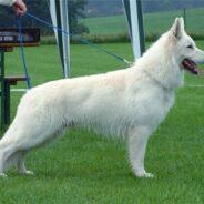 Особенности ухода за белой шерстью собак