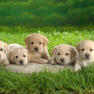 Уход за новорожденными щенками