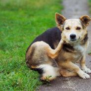 Блохи у собак, Секреты домашнего груминга