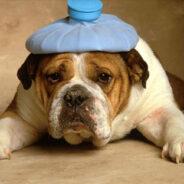Первая помощь собаке при перегреве и тепловом ударе