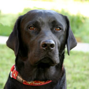 Смена хозяина в зрелом возрасте — как подружиться со взрослой собакой