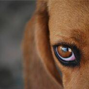 Уход за глазами и ушами собаки