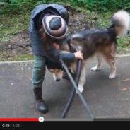 Линька у собак. Выдувание шерсти с помощью компрессора. Видео!