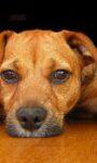 Неврозы у собак, боязнь громких звуков