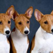 Басенджи — собака, которая не умела лаять.