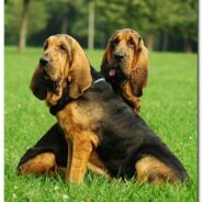 Бладхаунд — собака святого Губерта