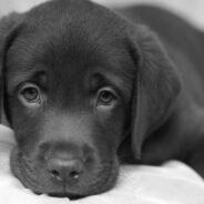 Как поднять гемоглобин собаке?