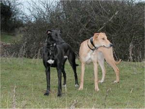 содержание собак в Англии, правила содержания собак в Англии, ветеринарные услуги в Англии, лёрчер запрещенные породы собак в Англии, правила выгула собак в Англии