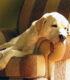 Возрастные изменения в психике питомца. Слабеет ли в старости сознание собаки?