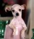 Мода на супер-карликов. Могут ли маленькие собачки быть здоровыми?