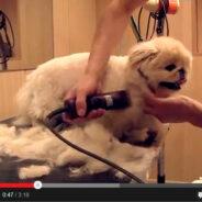Груминг пекинеса — популярная стрижка «под щенка». Видео.