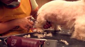 груминг пекинеса, груминг видео, груминг декоративных собак, салонный груминг, стрижка пекинеса, шерсть у пекинеса, уход за шерстью пекинеса, стрижка под щенка, стрижка собак, стрижка собак под машинку, мытье собак, как помыть пекинеса