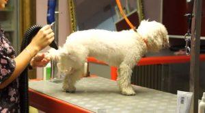 груминг собак, груминг бишона фризе, груминг в зоосалоне, стрижка бишона фризе, стрижка собак, стрижка лап, стрижка морды, стрижка когтей, белая шерсть, уход за белой шерстью, шампунь для белой шерсти, кудрявая шерсть, расческа для кудрявой шерсти