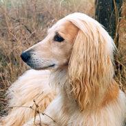 Аборигенная собака