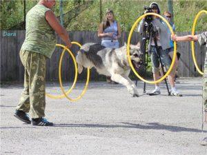 цирковая дрессировка собаки, цирковые трюки для собаки, как научит собаку цирковым трюкам, команда ладушки, команда умри, команда змейка, как научить собаки делать змейку, как научить собаку прыгать через ногу, как научить собаку прыгать в обруч