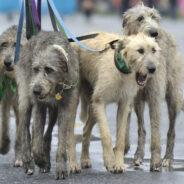 Ирландский волкодав — потомки легендарного Гелерта