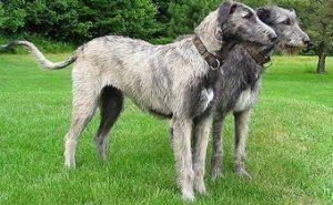 ирландский волкода, история породы ирландский волкода, легенда о Гелерте, внешнйи вид волкодава, характер ирландского волкодава, воспитание ирландского волкодава