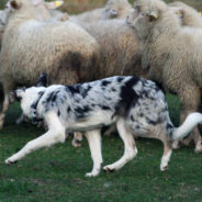 Пастушья служба с собаками