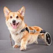 Собаки-инвалиды. Жизнь продолжается?
