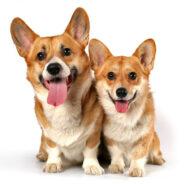 Вельш корги пемброк — любимая собака королевы