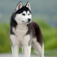 Сибирский Хаски. Умеющие дружить