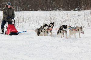 хаски, сибирские хаски, эскимосские хаски, характер хаски, характеристика хаски, описание хаски, особенности хаски, ездовая собака, история хаски, стандарт породы хаски