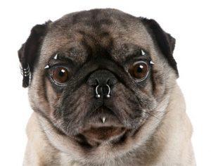 креативный груминг, виды креативного груминга, как сделать креативный груминг, креативный груминг у собак, выстригание картионк на шерсти, миниатюрная машинка для стрижки шерсти, блеск-тату у собак, собачий педикюр, пирсинг у собак, покраска шерсти собаки, декоративные украшения для собак