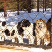 Вышедшие в расход или пенсия племенной собаки