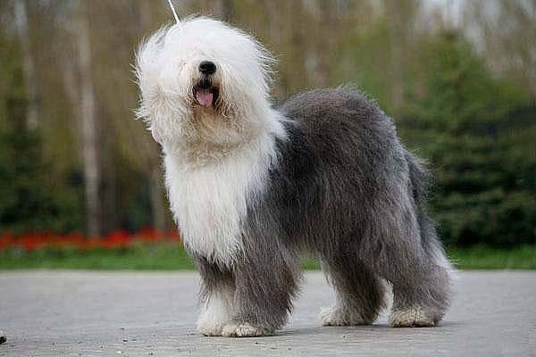 Собака с волосами на глазах