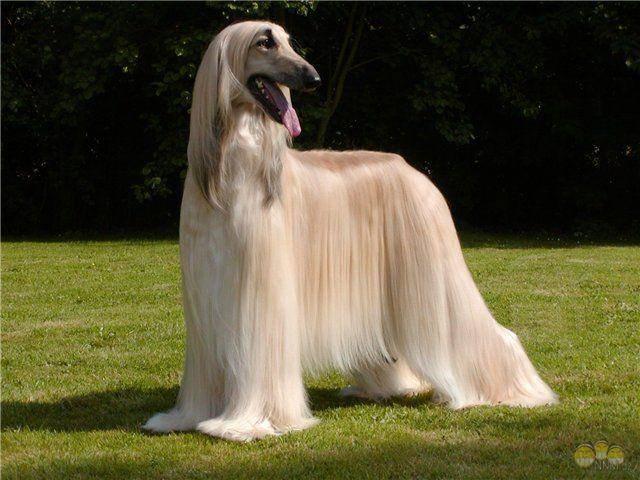 У какой собаки волосы а не шерсть