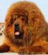 Тибетский мастиф – легендарный сторож тибетских гор