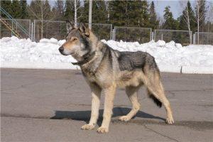 волкособы, волкособы фото, кто такие волкособы, как воспитывать волкособа, характер волкособа