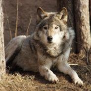 Волкособы: сила волка, преданность собаки