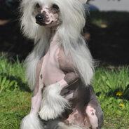 Китайская хохлатая собака – маленький эльф из волшебной страны