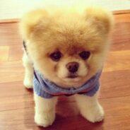 Алопеция у собак или синдром душки Бу