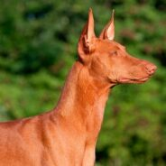 Фараонова собака — последний из богов Египта