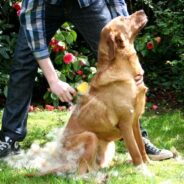 Затяжная линька у собаки