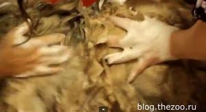 груминг леонбергера, леонбергер видео, как помыть леонбергера, шерсть леонбергера, подготовка к выставке леонбергера, груминг видео, груминг в зоосалоне, груминг санкт-петербург