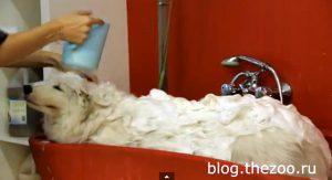 груминг самоеда, подготовка самоеда к выставке, уход за шерстью самоеда, как помыть самоеда, груминг самоеда видео, самоед видео, стрижка когтей собаке видео, мытье собаки видео, чистка зубов собаке видео, как чистить зубы собаке