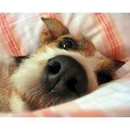 Пускать ли собаку на диван