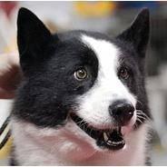 Карельская медвежья собака— первая среди лаек