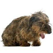 Собака подавилась — что делать?
