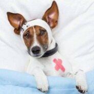 Признаки боли у собаки