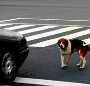 Собака попала под машину — что делать?