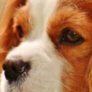 Кавалер Кинг Чарльз спаниели — собаки королей