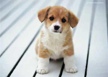собака, щенок, воспитать собаку, воспитать умную собаку