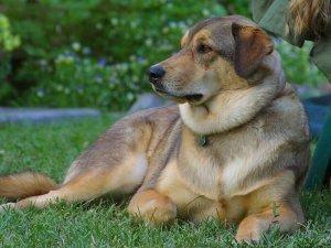 ложная беременность собак
